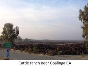 cattle coalinga